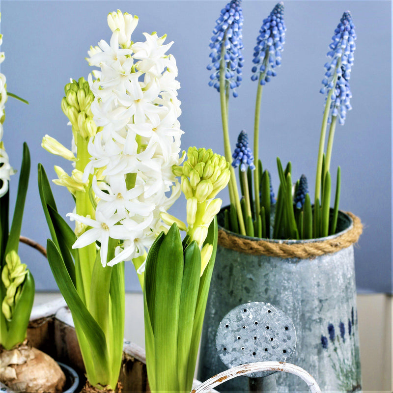 Forcing White Hyacinths