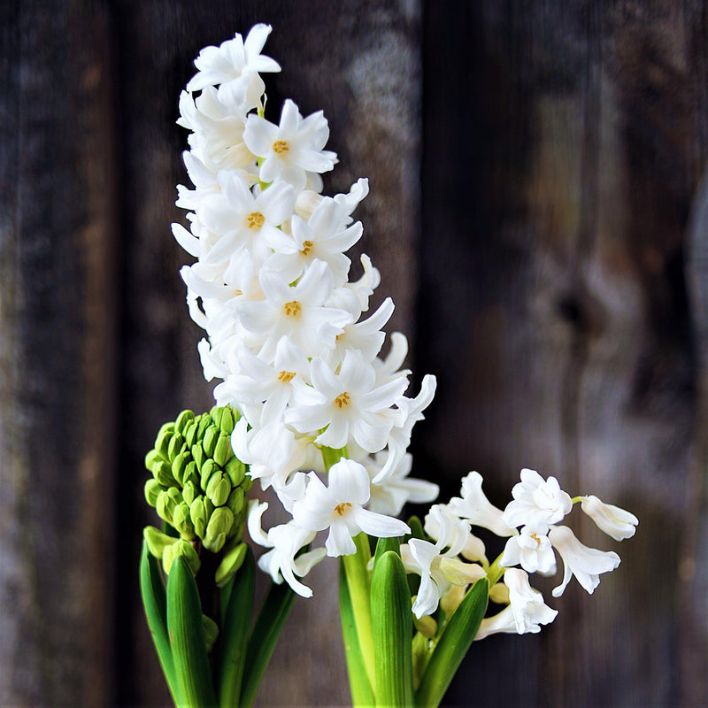 White Hyacinth Flowers