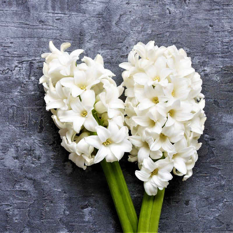 White Hyacinth for Cut Flowers