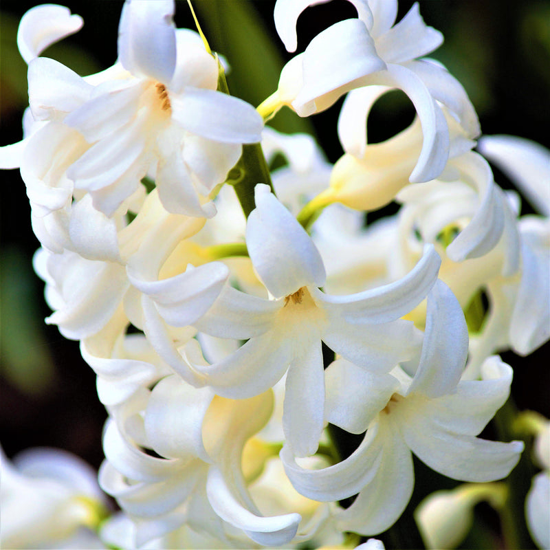 Closeup of White Hyacinth Flowers