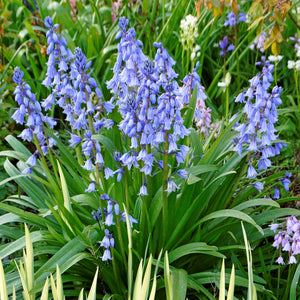 products/sqHyacinthoides_hispanica.DV.jpg