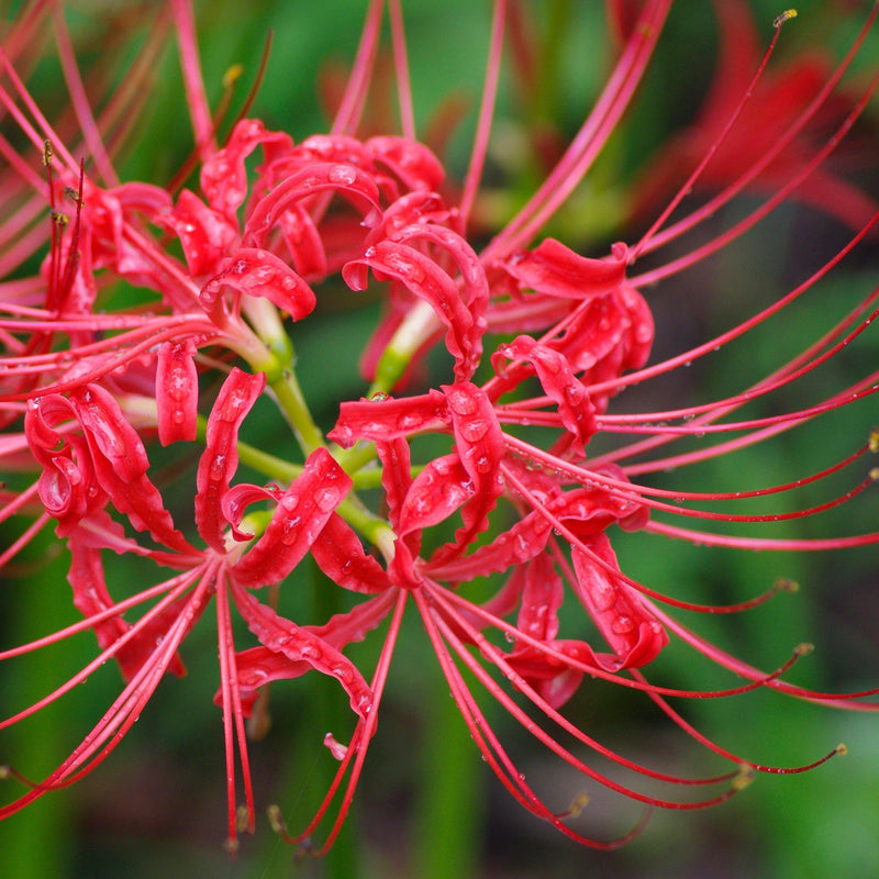 Red Spider Lily Flowers