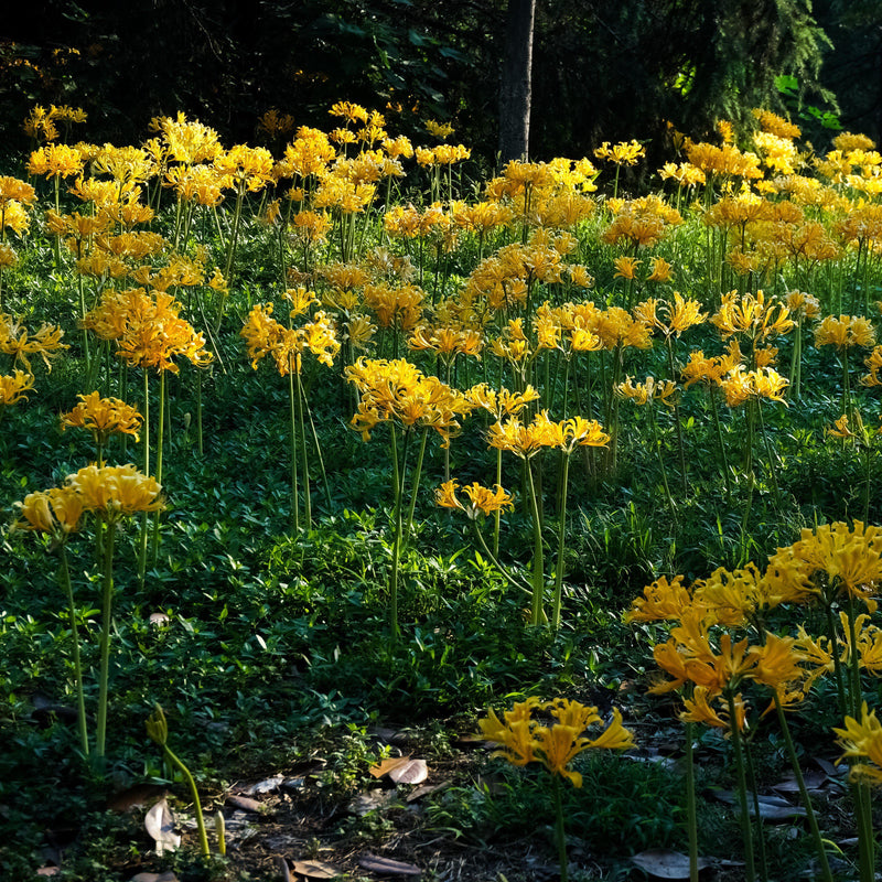 Yellow Lycoris Aurea flowers