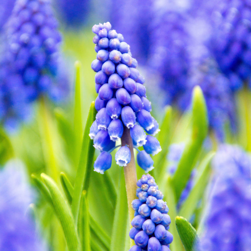 Grape Hyacinth River of Blue 'Armeniacum'