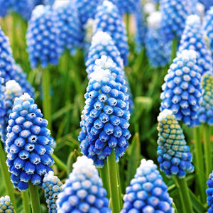 Grape Hyacinth Ocean Magic