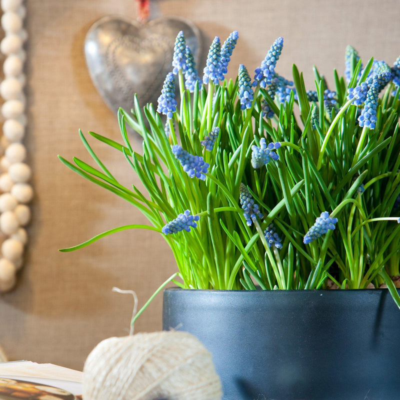 Grape Hyacinth Azureum