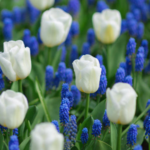 Blueberries and Cream, Muscari and Tulip Blend