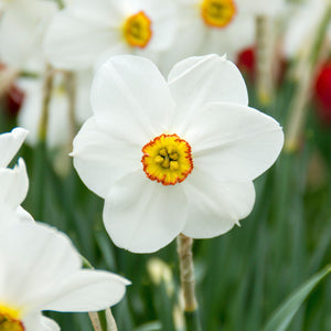 products/sqNarcissus_Actaea.DV.jpg