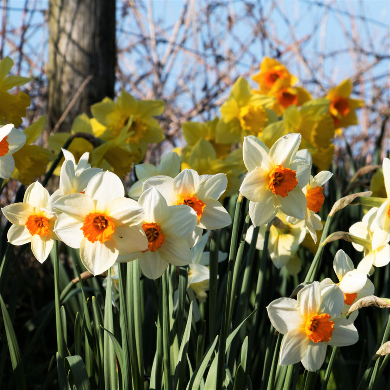 Narcissus Barrett Browning Easy To Grow Bulbs
