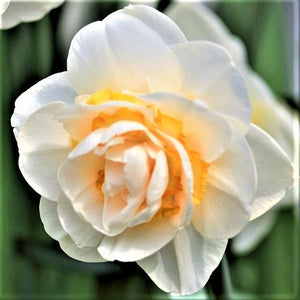 products/sqNarcissus_Bridal_Crown1.IBULB.jpg