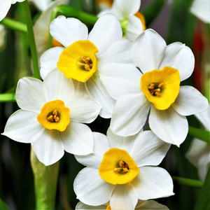 products/sqNarcissus_Canaliculatus.SHUT_1.jpg