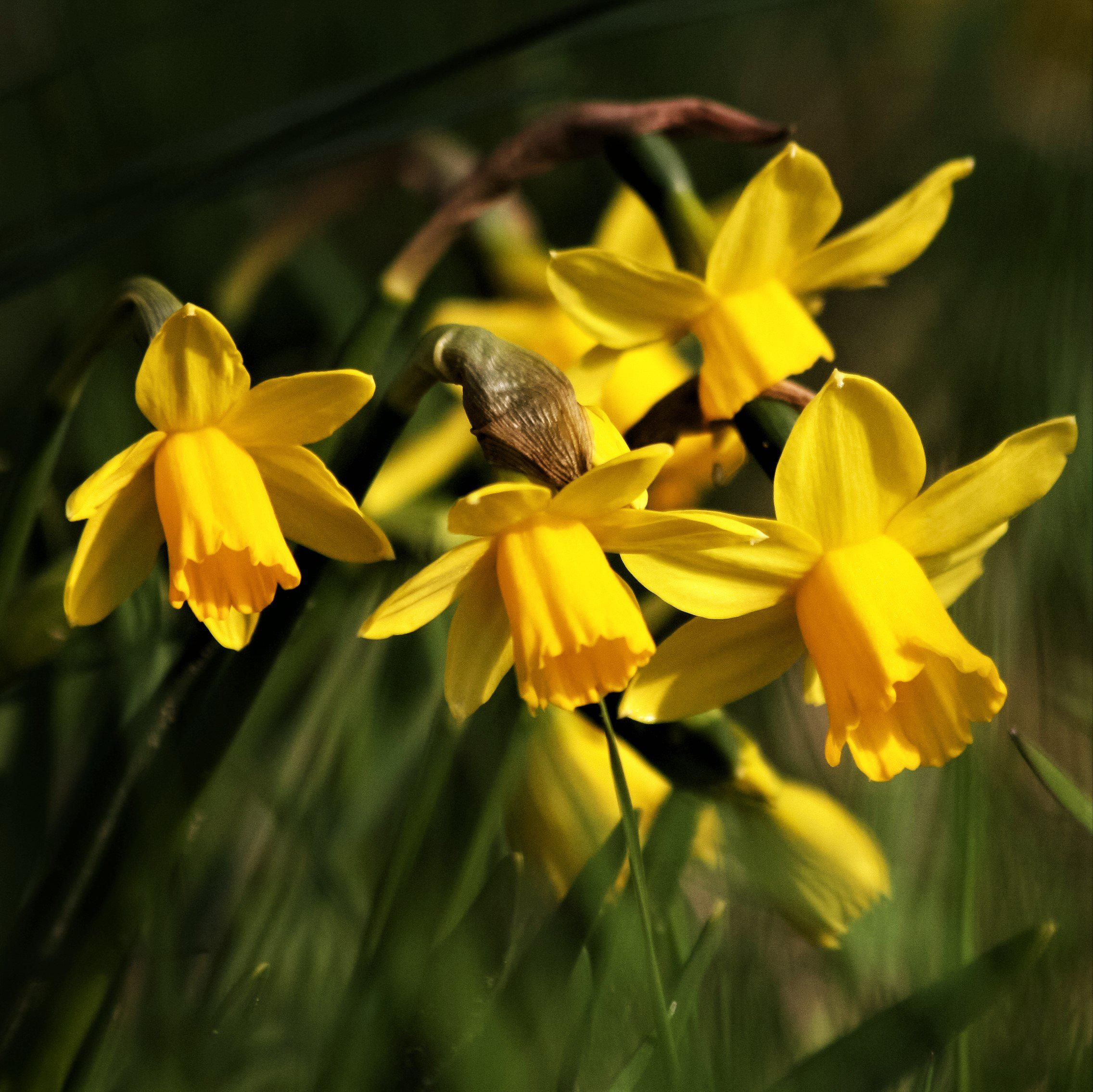 Narcissus February Gold – Easy To Grow Bulbs - photo#47