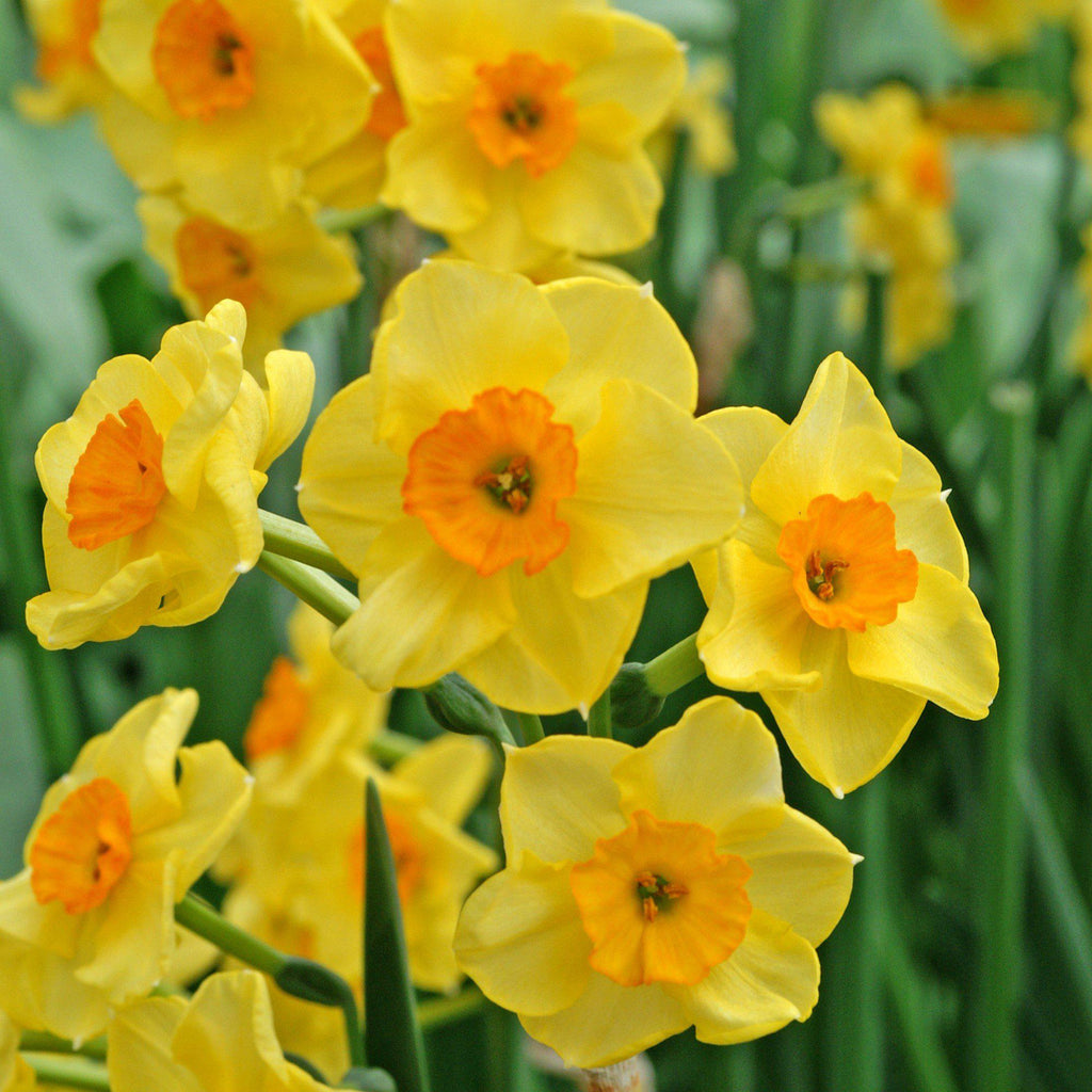 Narcissus Golden Dawn