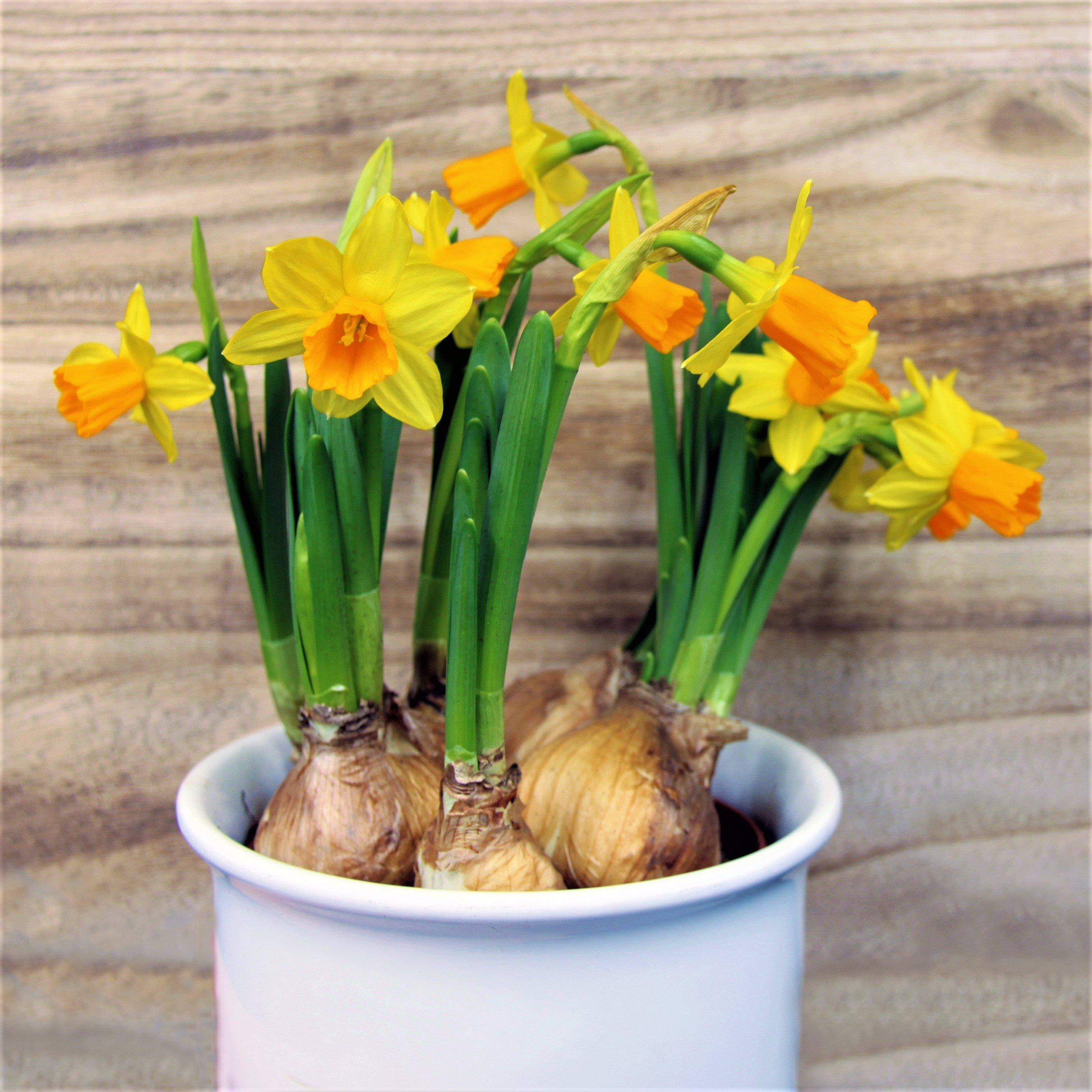 Narcissus Jetfire – Easy To Grow Bulbs - photo#43