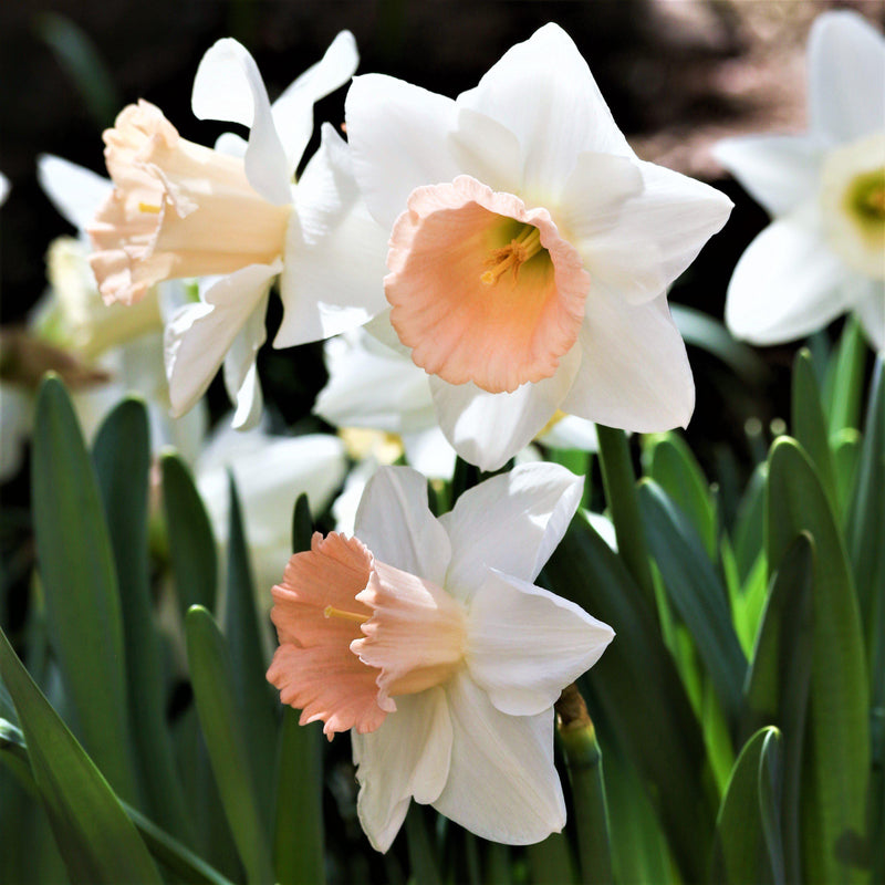 Narcissus Pretty in Pink Daffodil Mix