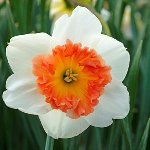 products/sqNarcissus_Precocious.DV.jpg