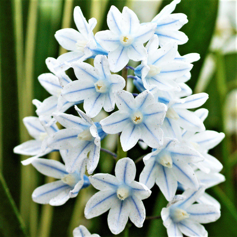 Blue Striped Pushkinia Flowers