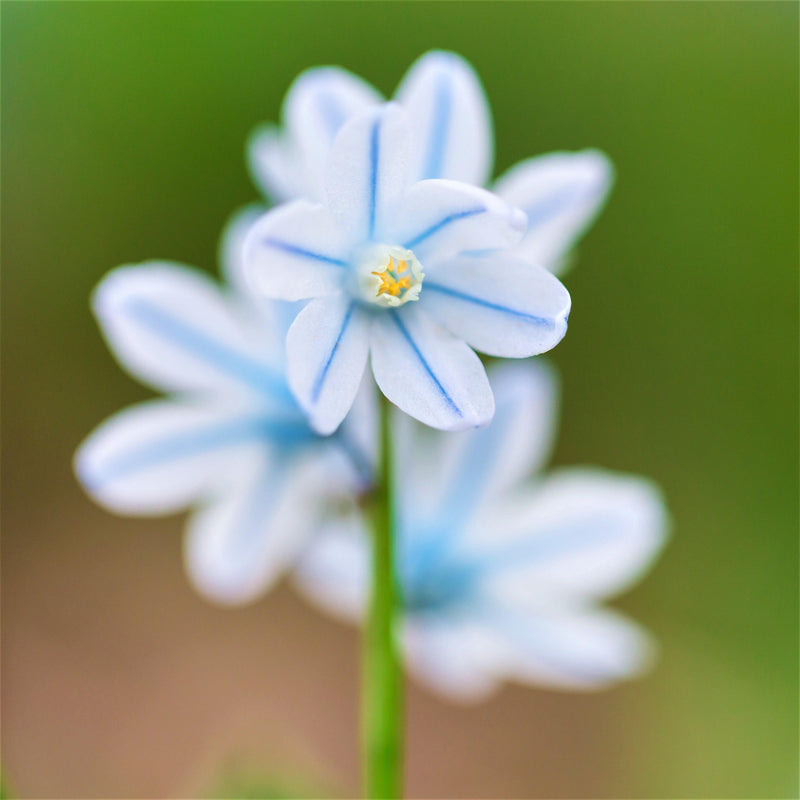 Striped Squill (Pushkinia)
