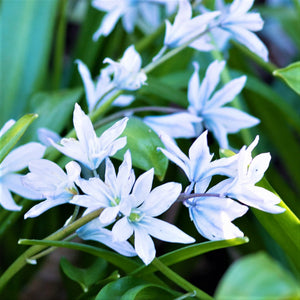 products/sqScilla_Persian_Bluebell.IBULB.jpg