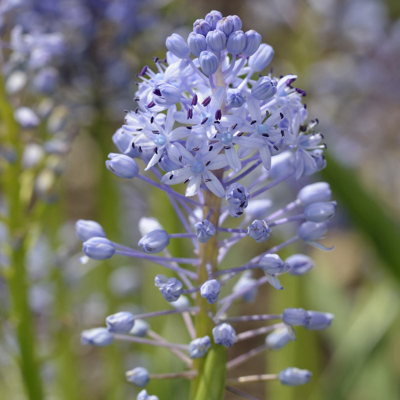 Scilla Amethyst Meadow Squill