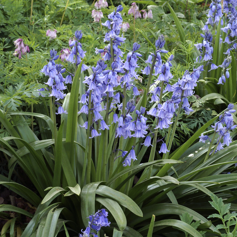 Blooming blue spanish bluebells