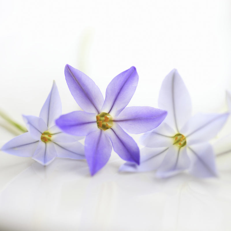 Starflower Uniflorum Froyle Mill (Fragrant)