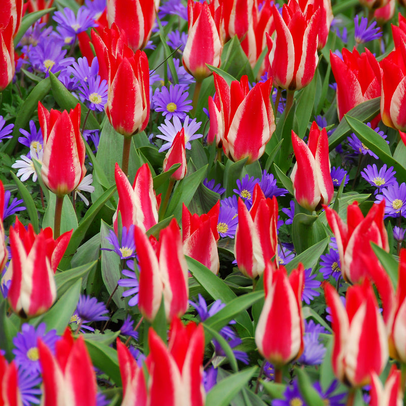 Stars & Stripes - Tulip and Anemone Blend