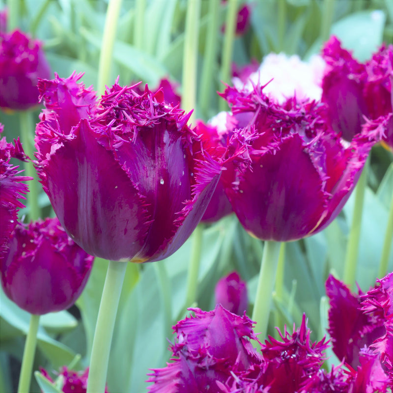 Tulip Fringed Curley Sue
