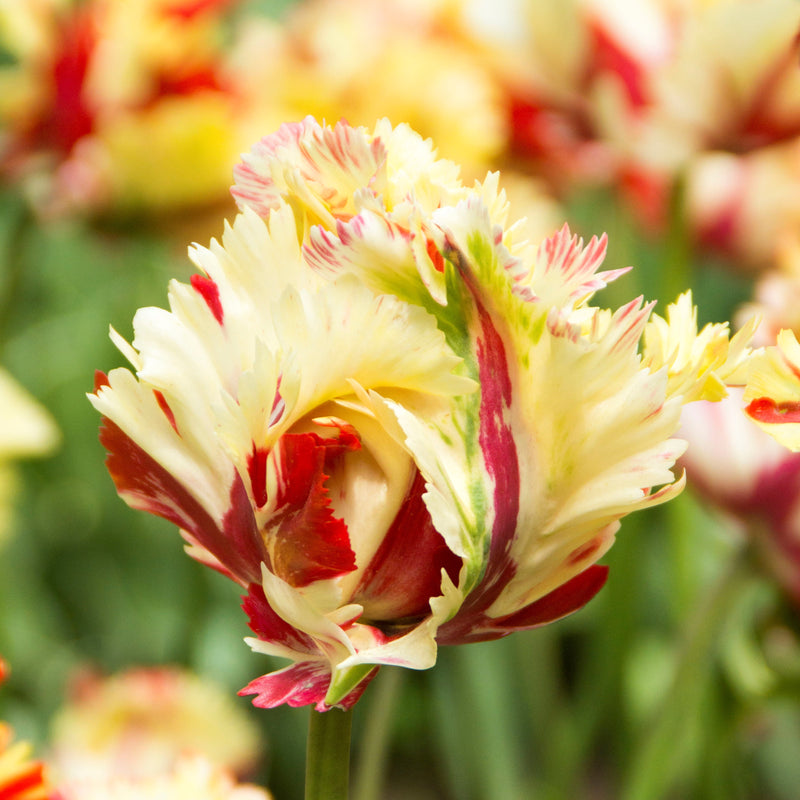 Tulip Flaming Fire Mix