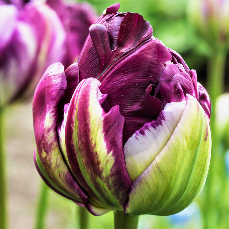 Tulip Wow (Blue Wow)