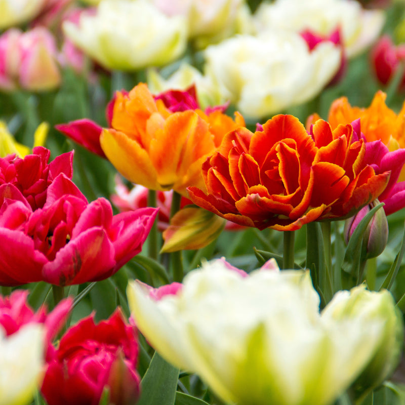 Tulip Double Flower Form Mix
