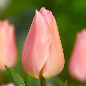 products/sq_Tulip_Apricot_Beauty.IBULB.jpg