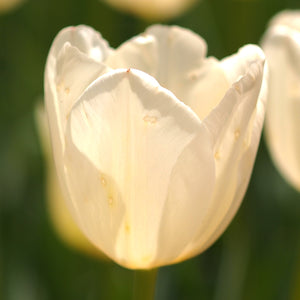 products/sq_Tulip_Francoise3.SHUT.jpg