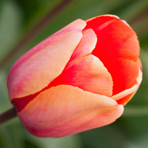 products/sq_Tulip_Menton_1.SHUT.jpg