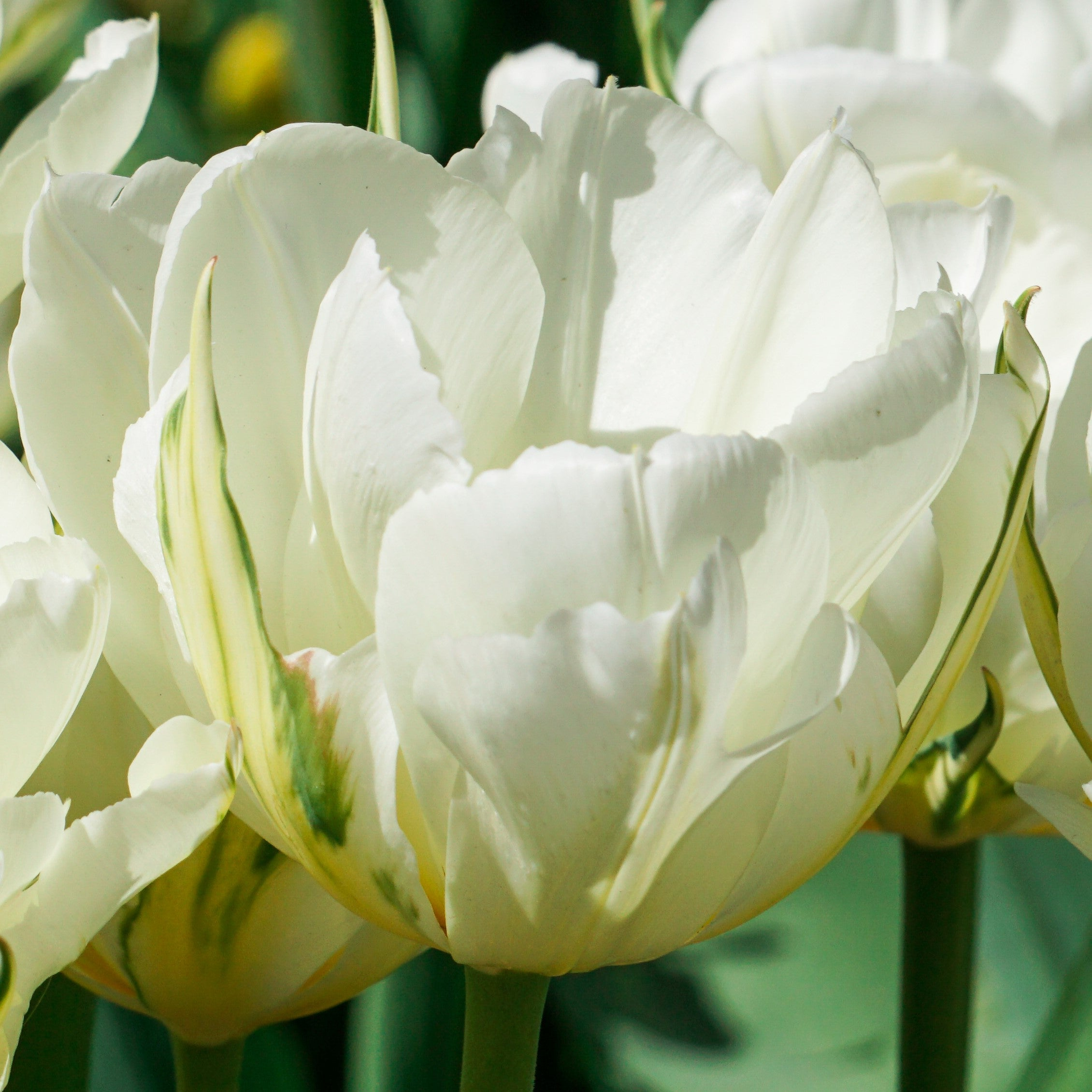 Tulip Mount Tacoma Easy To Grow Bulbs