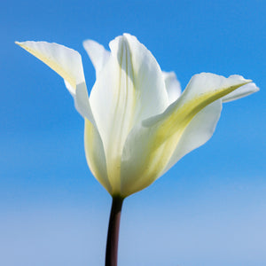 products/sq_Tulip_White_Triumphator.IBULB.jpg