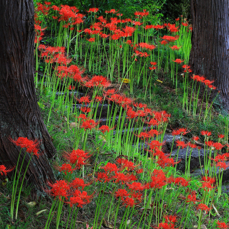 Red Lycoris Flowers in a Garden