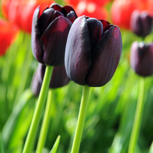 products/sqqTulip_Queen_of_Night.IBULB_2.jpg