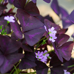 Flowering Group of Purple Shamrock