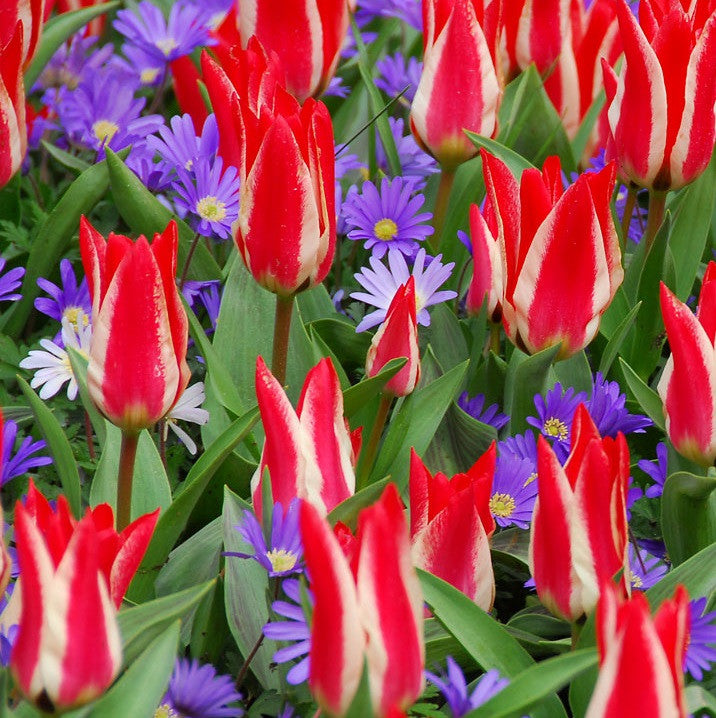 Red and White Tulips and Blue Anemone Flowers