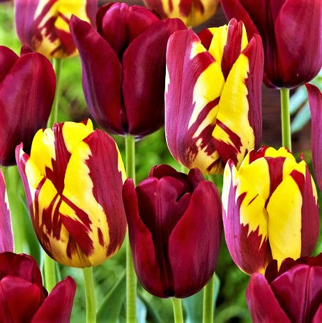 Tulip Perfect Match Mix