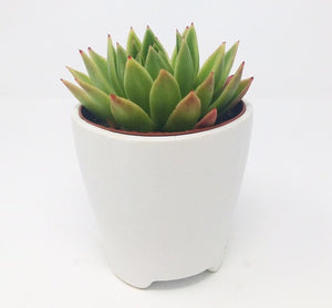 Succulent Rosette in Matte White Ceramic Pot