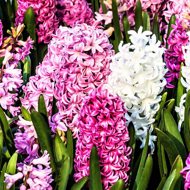 Hyacinth Sweet Berries Mix