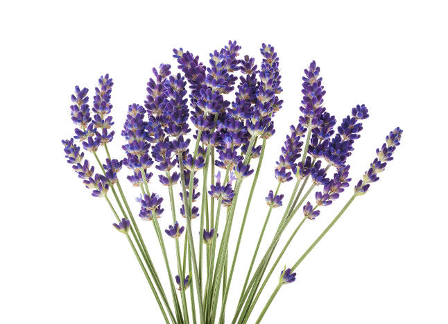 Plantes & Parfums dried Lavender flowers