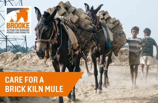 Care for a brick kiln mule