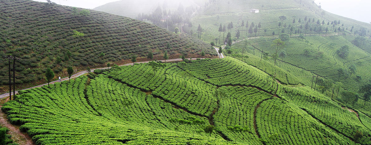 Autumn Flush Darjeeling - The 'Champagne of Teas'