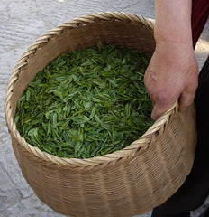Lung Ching Dragonwell tea leaves are collected in small baskets and taken for processing