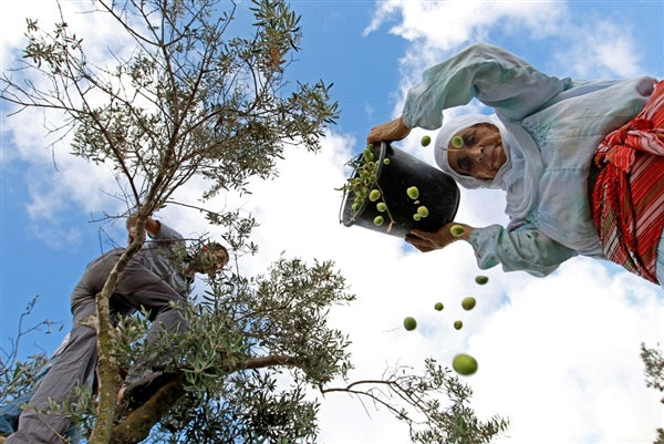 More Than an Olive Harvest