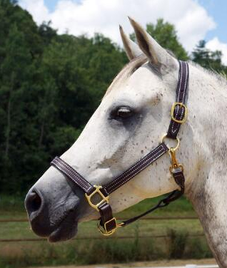 1 Inch Triple Stitched Leather Halter - [product_type} - Hamps Saddle & Tack