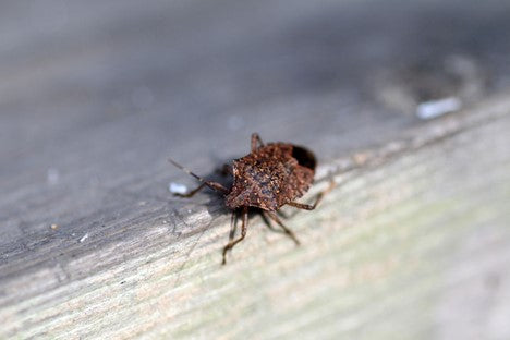 Top 10 Stink Bug Removal Tips - MosquitoNix